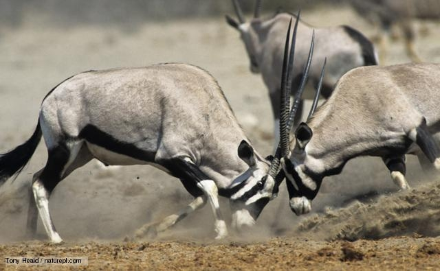 animals competing for territory - 640×395